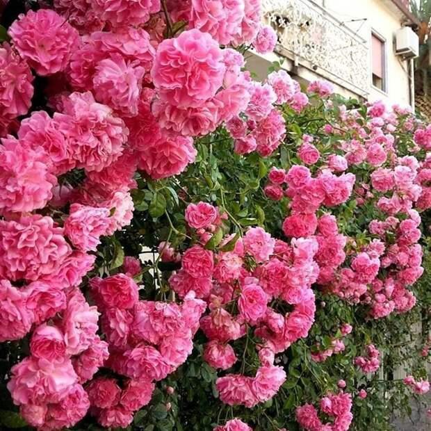 К плетистым розам относят виды шиповника