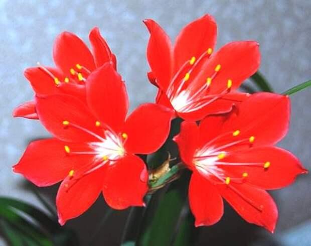 цветок валотта фото