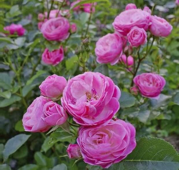 Мускусная роза: сорта, выращивание и уход