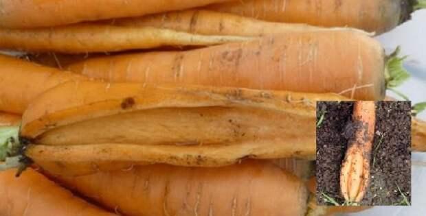 Морковь с трещинами