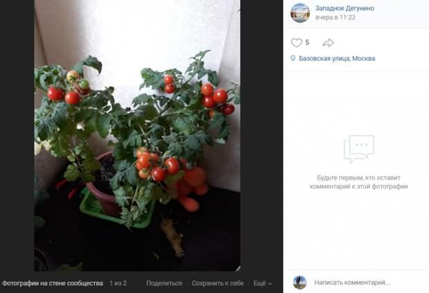 Фото дня: в квартире на Базовской растут помидоры