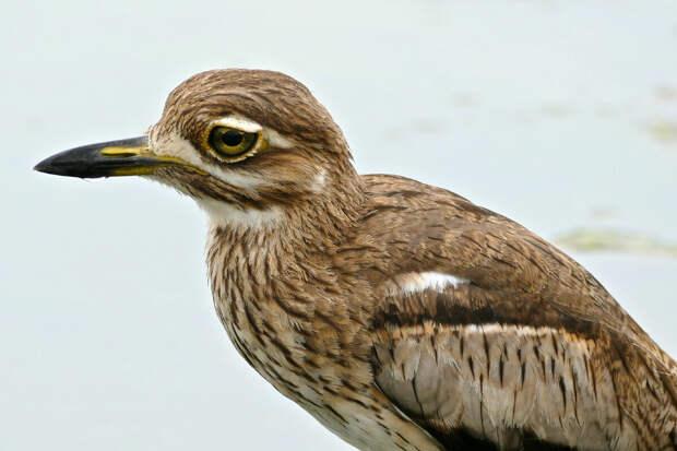 Водяная авдотка: «Невозможный» союз птиц и крокодилов. Они защищают яйца друг друга от хищников