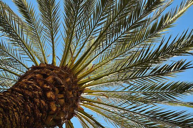 Израильские учёные вырастили пальмы из 2000-летних семян