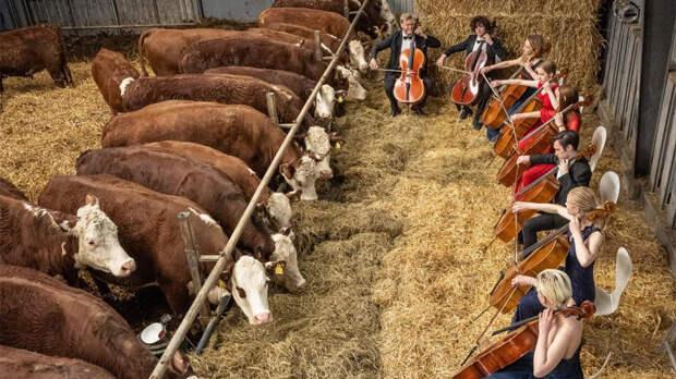 Коровам в Дании начали давать концерты классической музыки
