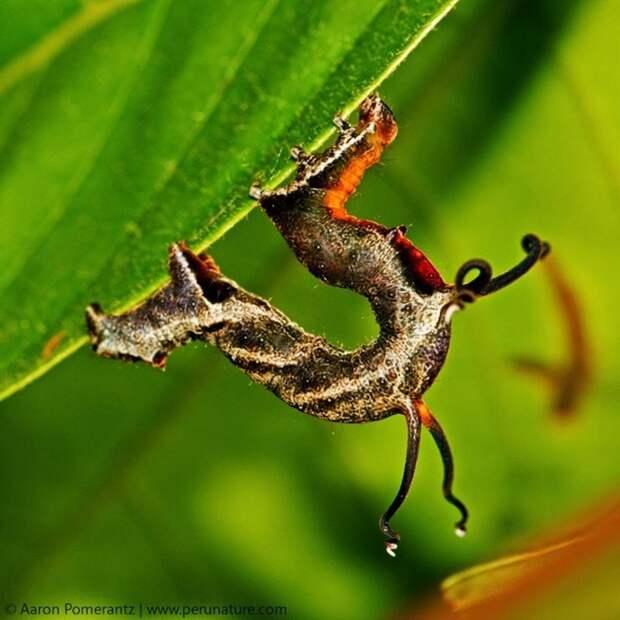 Танцующая гусеница (лат. Nematocampa resistaria)
