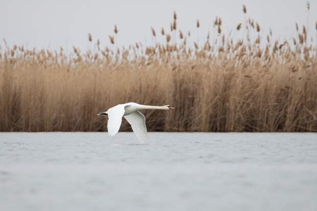 Лебедям трудно взлетать. Перед взлетом об бегут по воде быстро размахивая крыльями.