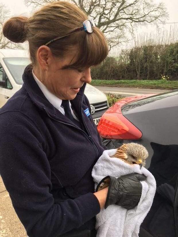 Зоозащитники приехали лишь через 3, 5 часа, они и доставили птицу к ветеринару животные, история, красный коршун, птица, спасение