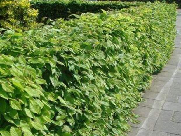 Если вы собираетесь создать заграждение из растений, то начинать работы нужно в конце лета
