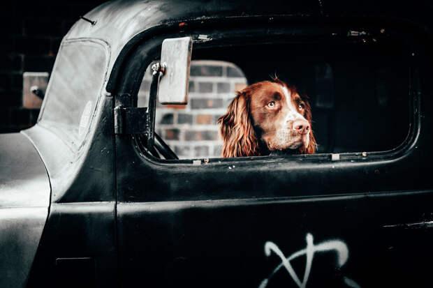 Две короткие смешные истории о собаках в машинах