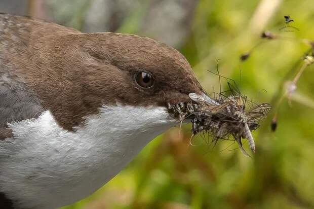 Оляпка любит не только рыбачить, но и охотится. Птичка является одним из главных уничтожителей комаров. Она ест как их личинок, так и взрослых особей.