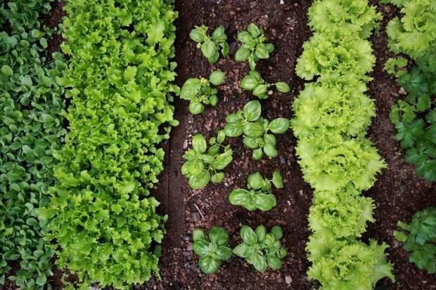 огородные растения, которые можно сажать рядом