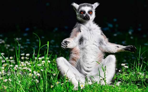 Животное лемур умеет медитировать