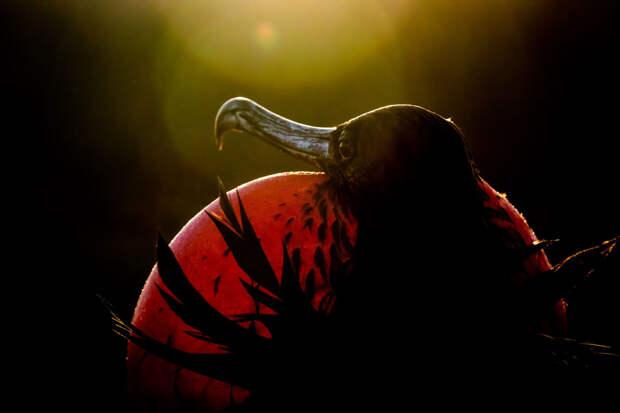 Великолепная птица-фрегат