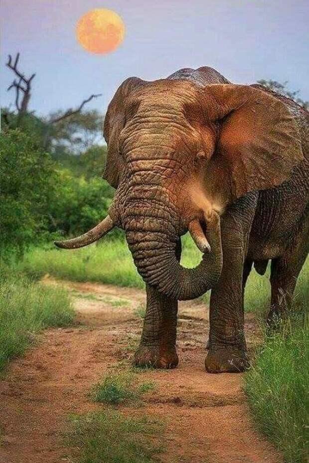 Ну и конечно же слоны животные, интересное, мир, носатые, природа, фауна