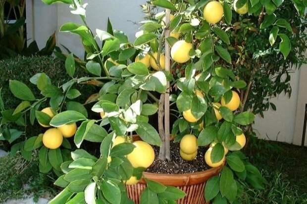 Гибрид апельсина и лимона получил название - Гибрид Мейера