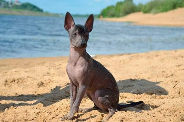 Мексиканский голый щенок находился у дверей магазина, он просил о помощи, но люди проходили мимо