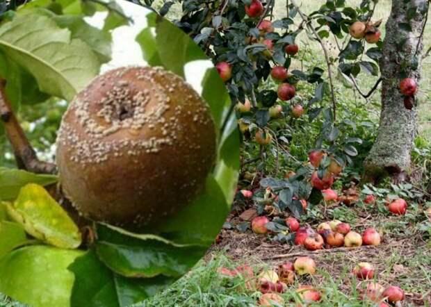 Как бороться с тем, что яблоки гниют на ветках и иногда даже не успеть полакомиться урожаем? Отвечаю на вопрос
