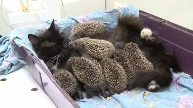 Кошка приютила 8 осиротевших ежат