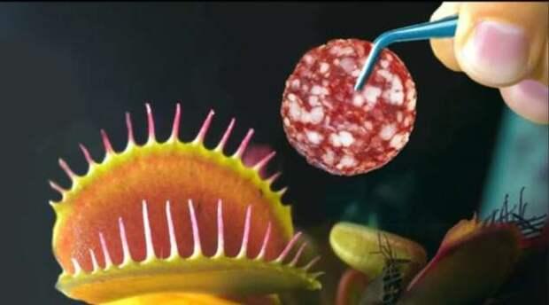 Съест ли хищная Венерина мухоловка колбасу и тик-так (+видео)