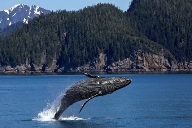 Ученые нашли у китов гены, которые дают им врожденный иммунитет от рака