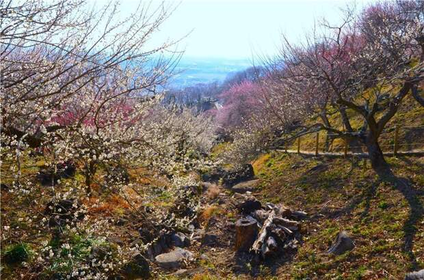 Лучшие места для любования сливой в Японии