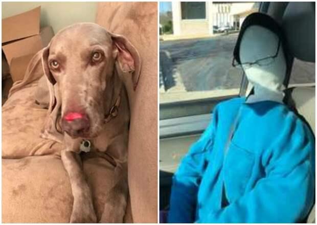 Хозяйка нашла способ успокоить собаку, которая не выносит одиночества болезни животных, истории, история, питомцы, собака, собаки, фото, хозяева