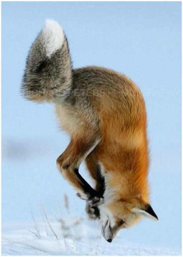 И лисички тоже животные, красота, полет, природа, прыжок, удживительное