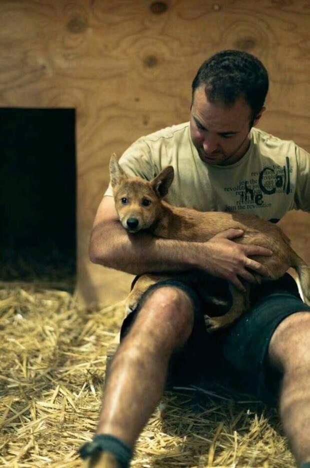 История о том, как человек помог щенку динго