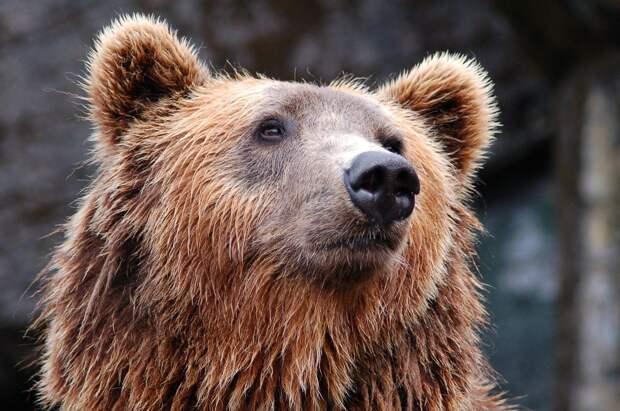 В цирке объяснили ревностью нападение медведя на беременную дрессировщицу