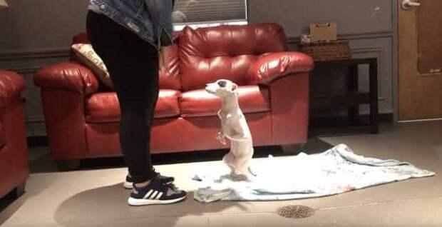 Щенок родился с пятью лапами, но он не унывает и учится ходить