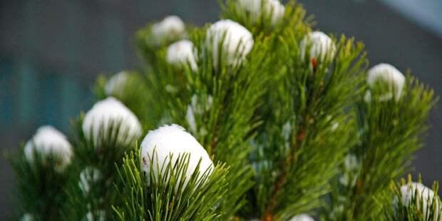 Новогодние елки принимаются в Головинском по трем адресам