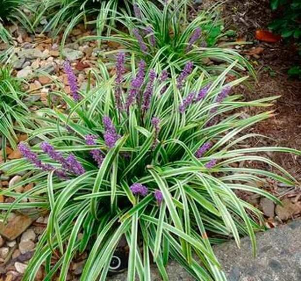 Комнатное растение Офиопогон (Ophiopogon)
