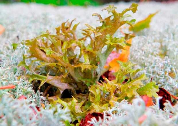 Цетрария исландская, исландский мох (Cetraria islandica)