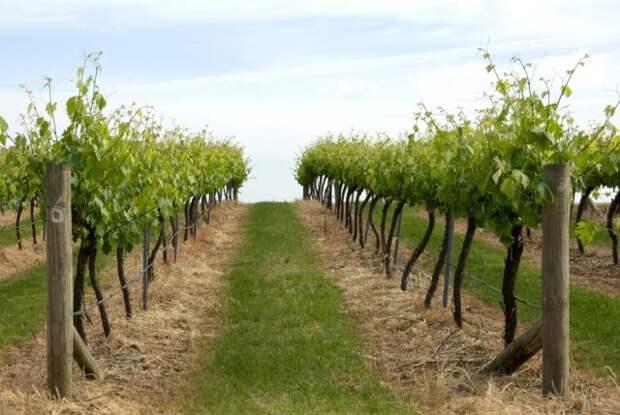Что посадить под виноградом
