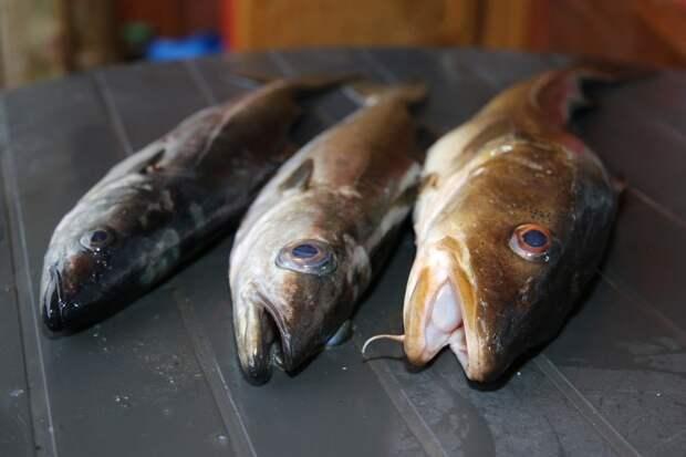 Эстонцы и Норвежцы скупают приморскую рыбу