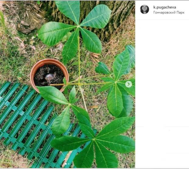 Фото дня: жительница Бутырского посадила каштан