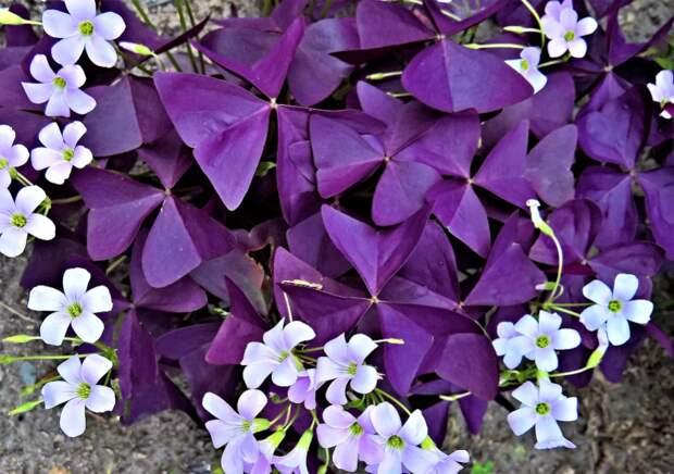 "Картинки по запросу ""Цветок бабочка кислица (Oxalis): уход за цветком счастья и любви"""""