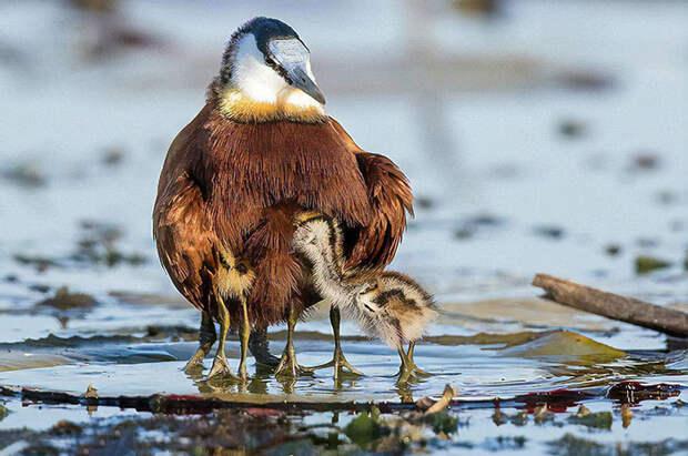 Забавные фотографии африканской яканы, птицы, у которой иногда бывает по десять ног