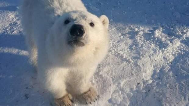 Белого медвежонка спасли в Красноярском крае