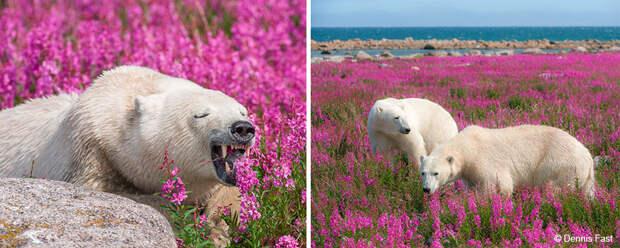 Денис Фаст сфотографировал, как полярные медведи резвятся в цветочном поле-25
