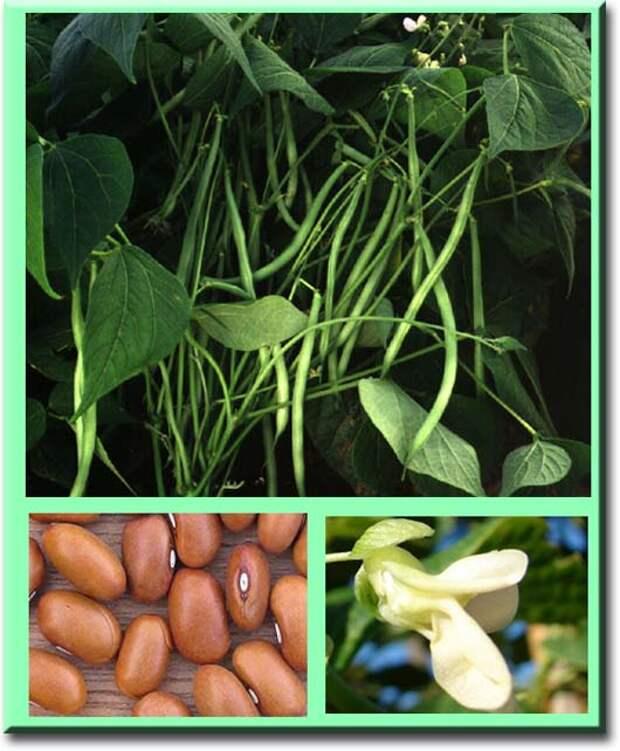 Лекарственные свойства фасоли обыкновенной