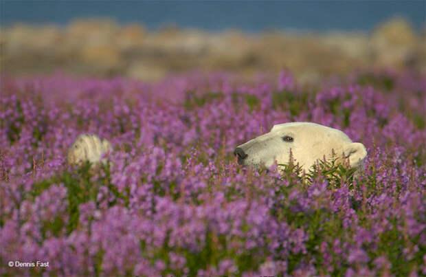 Денис Фаст сфотографировал, как полярные медведи резвятся в цветочном поле-26