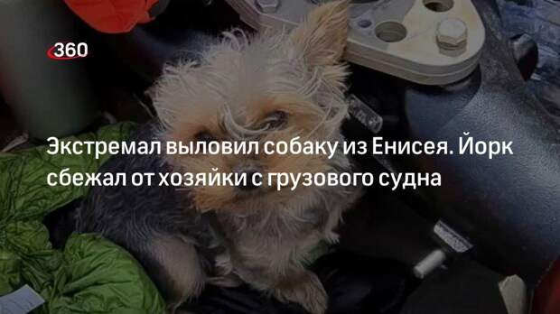 Экстремал выловил собаку из Енисея. Йорк сбежал от хозяйки с грузового судна