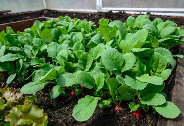 Вот уже четыре года я выращиваю редис и для корнеплодов, и для ботвы