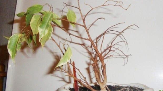 5 капризных комнатных растений, приобретение которых как деньги на ветер