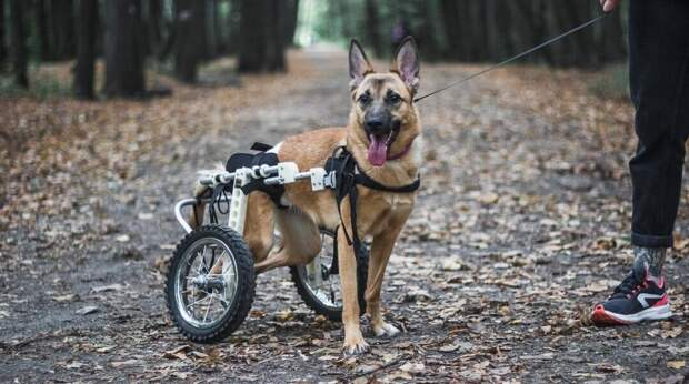 В приют попала собака с пулевыми ранениями. Она навсегда останется инвалидом, но счастье ее уже нашло