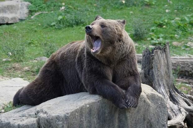 Ручные лоси Моня и Муля стали жертвами голодного медведя в Коми