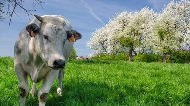 Госкомветеринарии Крыма информирует о необходимости соблюдения мер по профилактике лейкоза крупного рогатого скота на территории Республики Крым