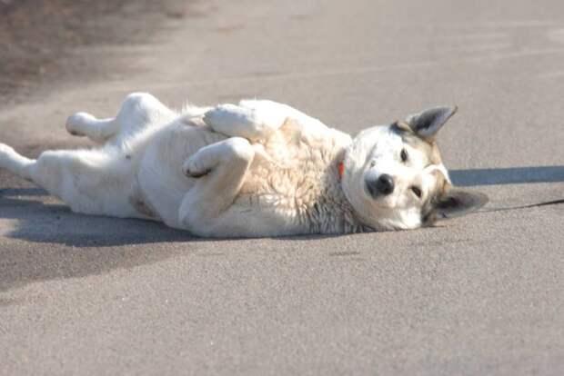 Лайка «Меховое Сердечко» появилась на городском рынке… Она серьёзно больна, но уже поправляется!