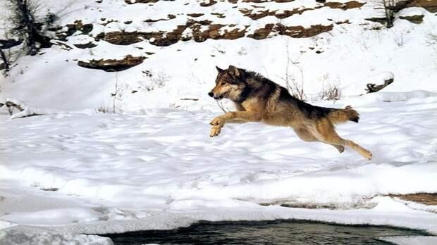 И волки животные, красота, полет, природа, прыжок, удживительное